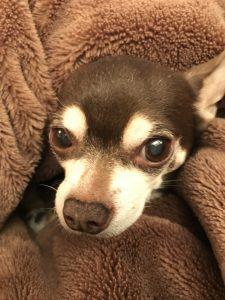 犬は毛布で丸くなる。