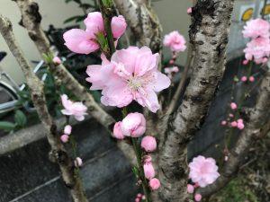 庭木に花が咲きました