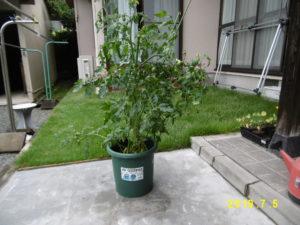 ミニトマト栽培中